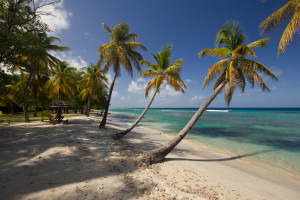 Grenada palm trees